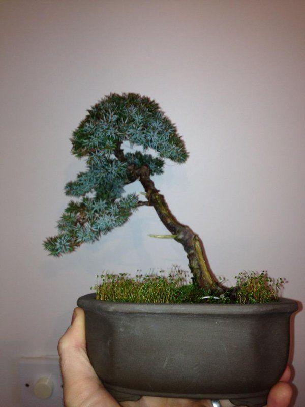 Shohin bonsai on 51 best Shohin Juniper