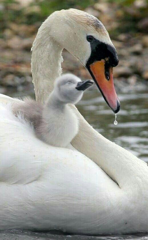Mama zwaan met kleintje.