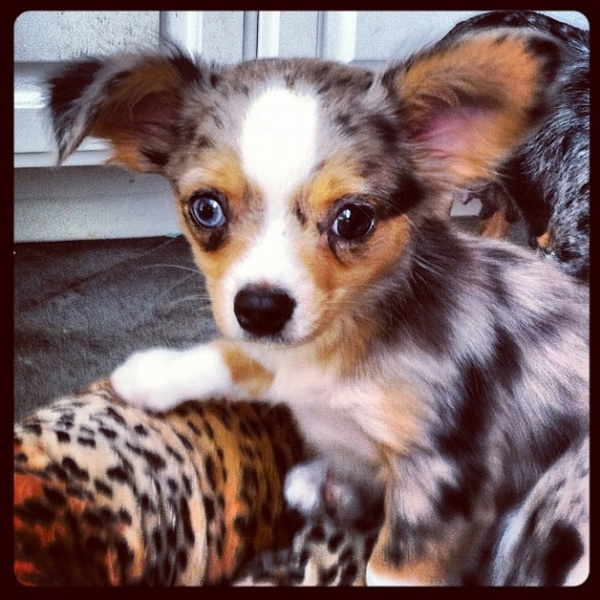 blue merle chihuahua for sale best 25 merle chihuahua ideas on pinterest teacup 6204