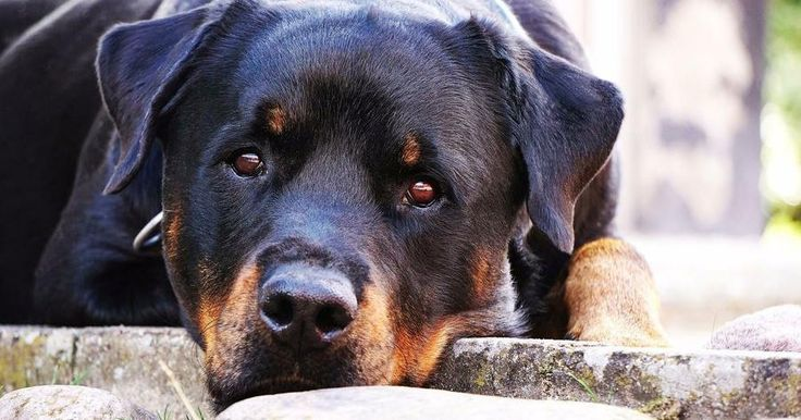 Todo sobre el perro de raza Rottweiler