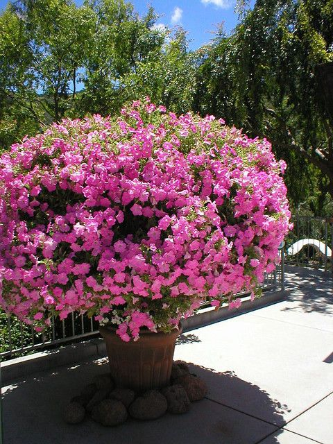 This is some Petunia plant!