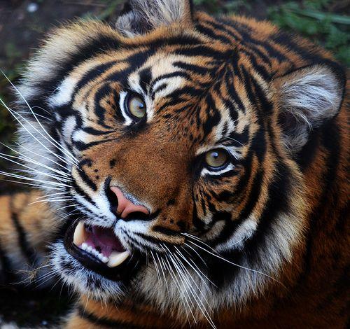 Tiger at Dudley Zoo | Flickr - Photo Sharing!
