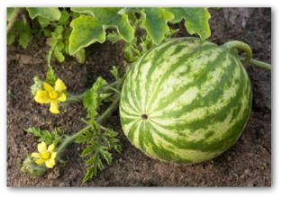MELONS!!    Banana Cantaloupe??: Farm, Fruit, Gardens Suffer, Gardening Ideas, Food, Growing Watermelons, Squash