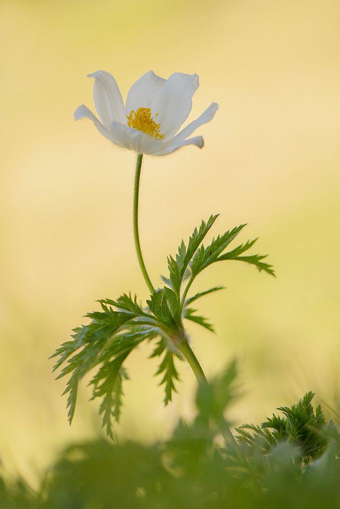 Alpenanemone (Alpen-Kuhschelle) von Roland Kiser (naturow)