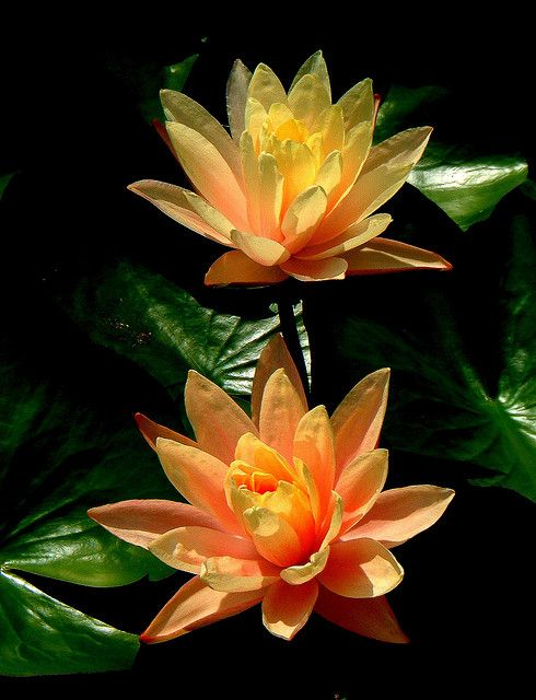 """Reality is merely an illusion, albeit a very persistent one.""  ~ Albert Einstein * Orange lotus   <3 lis"