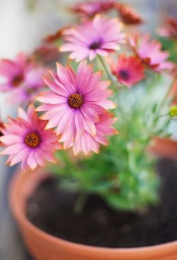 Best Plants for Indoor Air | Gerbera daisy (Gerbera jamesonii) has wide, showy flowers and thick, waxy leaves. It's a good indoor/outdoor plant: Keep it outside in pots during warm weather, then bring it indoors when weather cools and it'll continue to produce blooms. In NASA plant studies, the gerbera daisy excelled at removing toxic vapors.  Credit: SusanGaryPhotography/Flickr/Getty Images