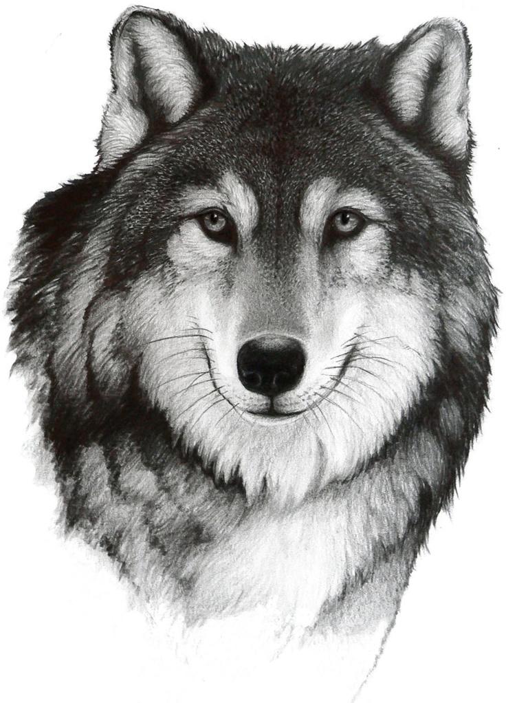 Рисунок волк картинки