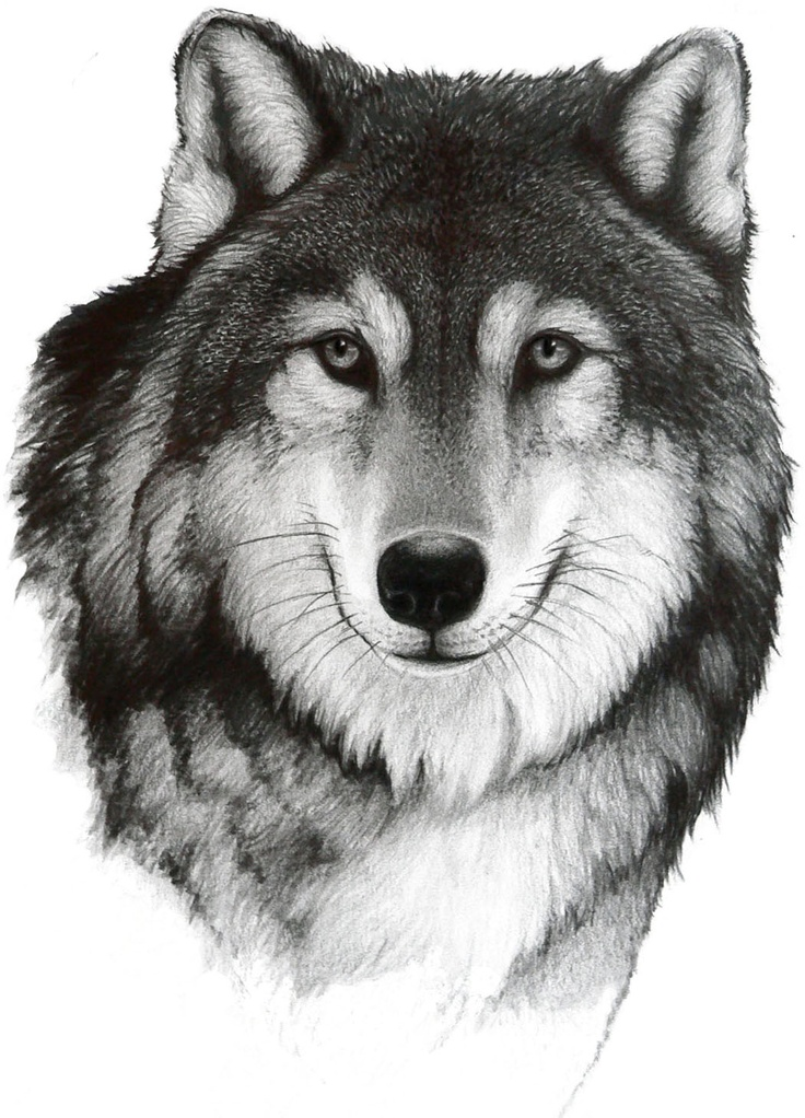 Drawing a Wolf   by Bill Langis