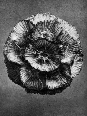 Karl Blossfeldt, Scabiosa prolifera, Scabious, empty head