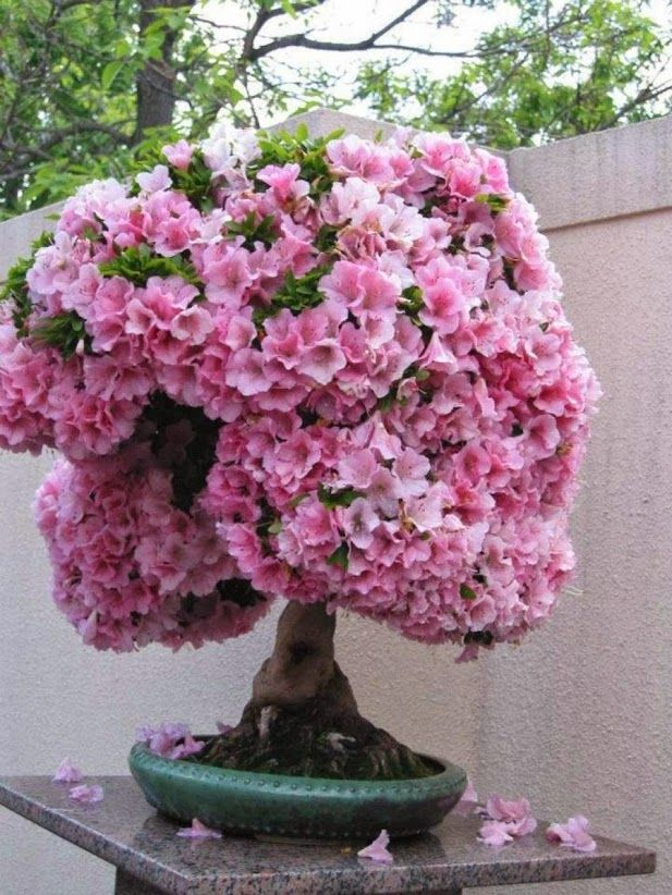Wonderful World One of the Most Beautiful And Unique Bonsai Tree In The  World