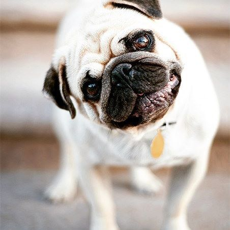 Guys !! I have to know. Weird habit of a pug to always twist their head clockwise or so as if.... Looollll Does your pug also do the same ? Well let us in a comment below. Hit a like and share to create awareness. . . Follow us at @rhinoplug for more . . . #pugpuppies #puggle #pugs #pug #pugsofinstagram #puglia #picoftheday #fun #memes #meme #cutedogs #chien #doguiloo #doguilo #carlin #chiens #tbt #picoftheday #wisdomwednesday #wisdom #instafashion #instagood #instagram #pug_focus…