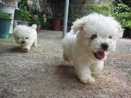 Love Maltese pups!: Cute Puppies, Cuteness, Dogs, Maltese Puppies, Adorable Animals, Pet, Puppys, Box