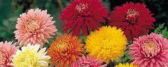 Flor do Outono - Crisântemo: Como cuidar dele. Ocrisântemo, nome vulgar dado ao Chrysanthemum, é uma planta que pertence à família Asteraceae, também conhecida como Compositae. Na Ásia esta planta é muito cultivada e estimada. OCrisântemopode ser cultivado tanto em vaso como em canteiro no seu jardim. ... - http://www.esteiraergometrica.com.br/ecoblog/2017/03/11/flor-do-outono/