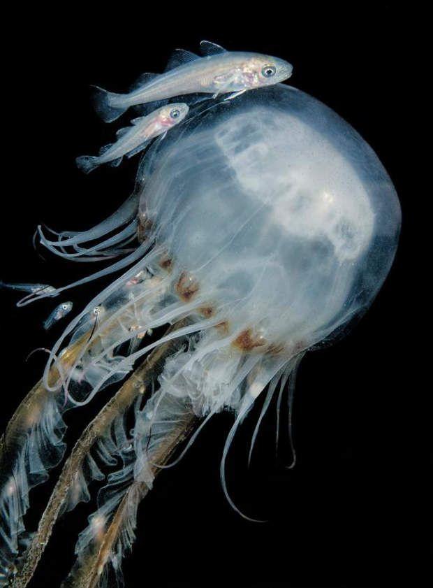 """Zone de sécuritéUne jeune morue tente de se réfugier entre les tentacules d'une méduse, au large de Plymouth (Angleterre). """"Je n'ai jamais vu autant de poissons se réfugier dans d'aussi petites méduses"""", raconte la photographe Cathy Lewis."""