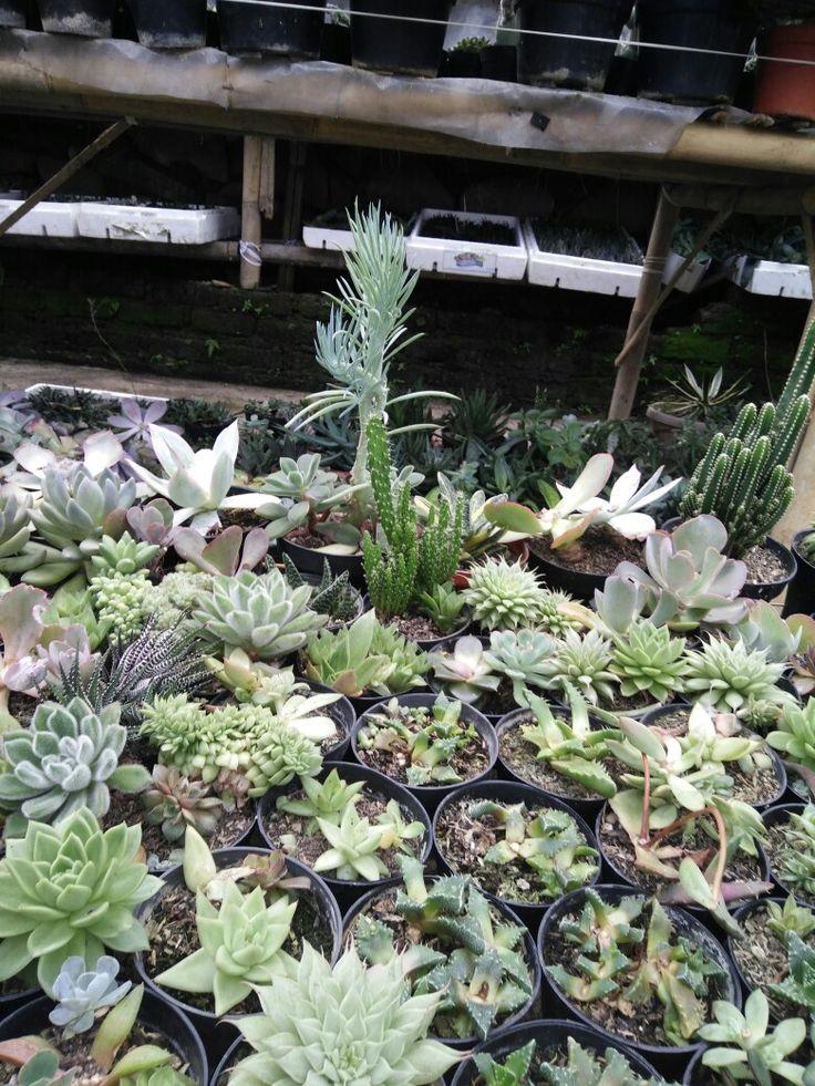Succulents nursery Maribaya