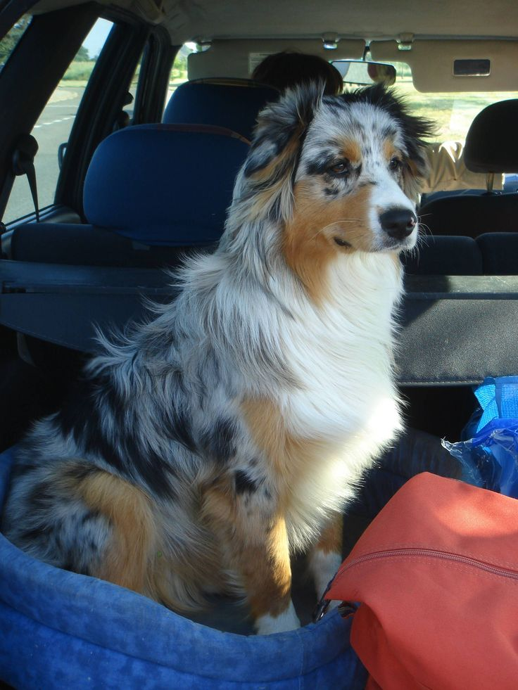 Found this picture of a Australian Shepherd.. Never seen a dog with such coat.