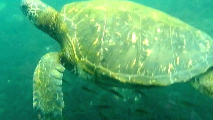 Touching a sea turtle. Трогая морскую черепаху, это мое первое подводное видео, http://olhanninen.livejournal.com/543363.html про снорклинг на Галапагосах рассказываю тут.