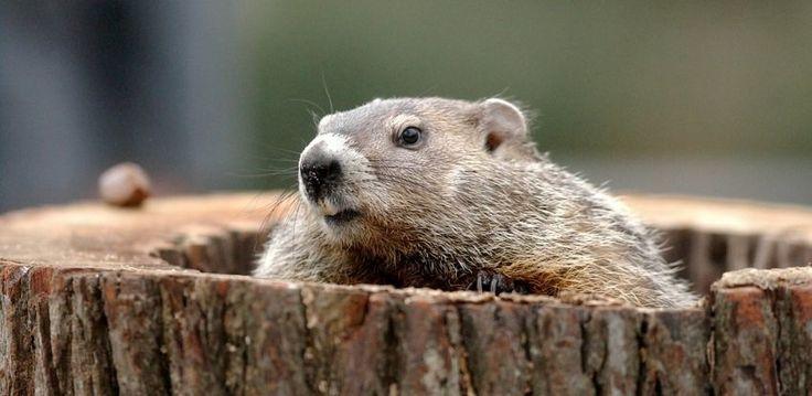 … ovvero Il Giorno della Marmotta, giorno che si inserisce nelle tradizioni popolari agresti che cercavano, attraverso nell'osservazione della Natura di prevedere la durata e la fine de…