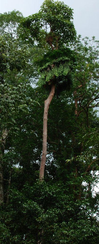 Platycerium coronarium à la base de la couronne d'un arbre, Chanthaburi,Thailand