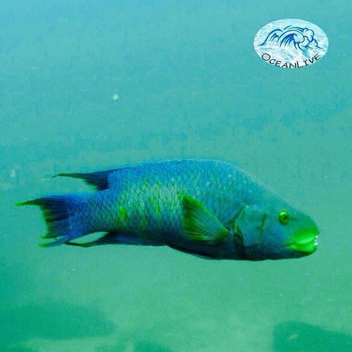 Peixe Papagaio Cerca de 60 espécies de peixe papagaio nadam entre recifes de coral ao redor do mundo. O nome  papagaio  é derivado de seus dentes fundidos  que carregam estreita semelhança com o bico do pássarosão especializados para raspar as algas e invertebrados de corais e pedras.Desempenham um papel importante no crescimento do recife de coral que se alimentam de algas que poderiam sufocar o coral se não forem comidas.O peixe papagaio saudável depende de recifes de corais…