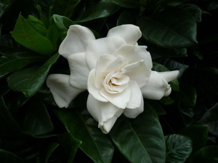 Nagy jázmin illatú virágai igen közkedveltté tette a gardéniákat. Ugyanakkor tudni kell, hogy csak igen gondos ápolással tartható életben, illetve bírható virágzásra a mi klímánkon, ahol szobanövényként tartható. Kedvelt bonsai növény. http://kertlap.hu/csak-megfelelo-kornyezetben-birhatod-viragzasra-gardeniat/
