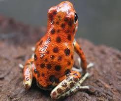 frog STRAWBERRY - Hľadať Googlom