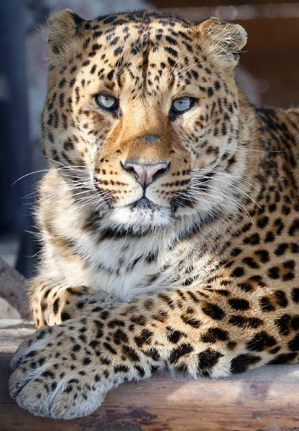 Russo, a four-year-old male Far-Eastern Chinese leopard, lays in an open-air enclosure at the Royev Ruchey zoo in Krasnoyarsk