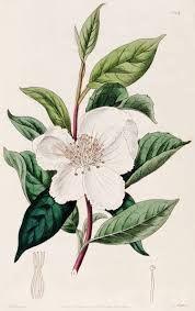 Camellia sinensis (tea plant) in flower, vintage botanical print