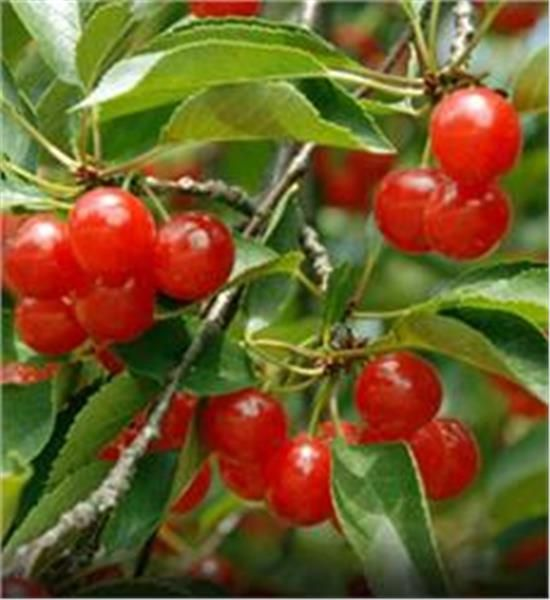 'Montmorency' sour Cherry