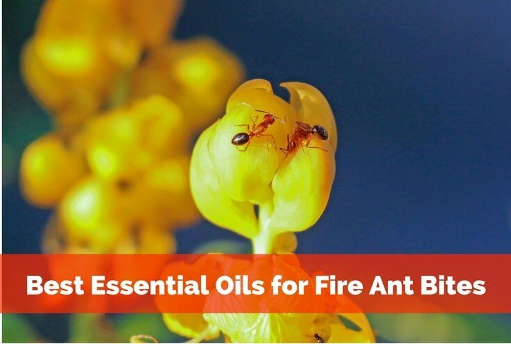 Here are the Best Essential Oils for Fire Ant Bites That Work! Bites from bugs, insects are itchy, irritating, essential oils soothe and treat the bites.
