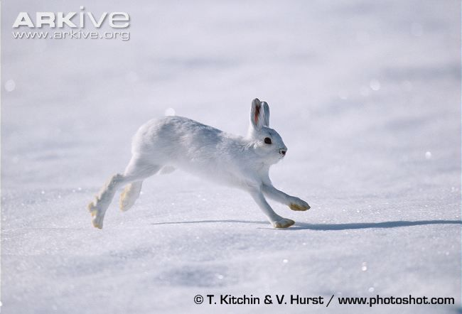The smallest species of the Lepus genus, the snowshoe hare (Lepus americanus) is a rabbit-sized mammal that is incredibly adapted to its seasonally variable environment. The snowshoe hare is named...