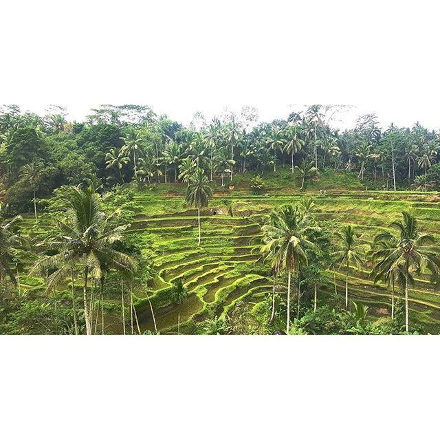 【na1176kra】さんのInstagramをピンしています。 《#bali #resort #Indonesia #resort #ubud #green #nature  #wood #tree #forest #terrace #riceterraces #riceterrace #sightseeing #trip #travel #バリ #バリ島 #インドネシア #リゾート #ウブド #緑 #森 #森林 #自然 #ライステラス #テラス #観光 #海外 #旅行》