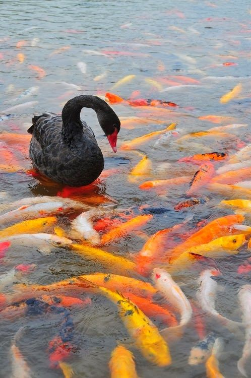140 best animal adoptions images on pinterest cutest for All black koi fish
