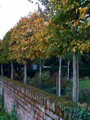 Pleached hornbeams are useful for privacy