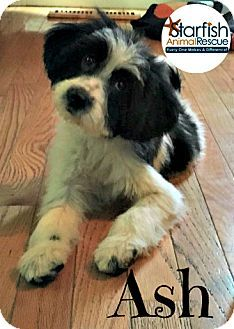 Plainfield, IL - Border Collie/Maltese Mix. Meet Ash, a puppy for adoption. http://www.adoptapet.com/pet/14543385-plainfield-illinois-border-collie-mix