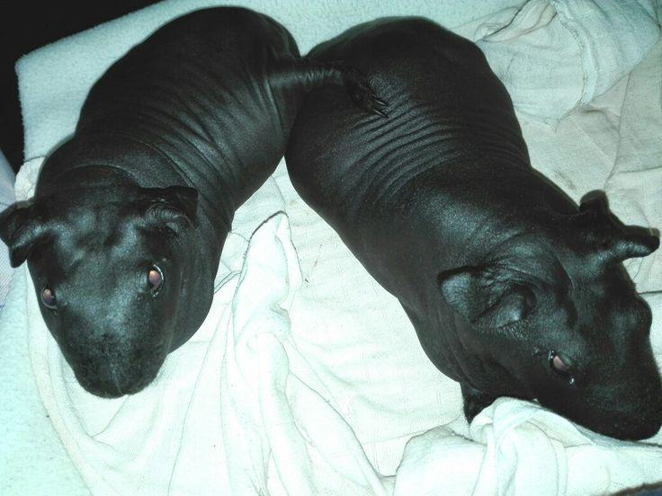 My baby mini hippos skinny guinea pigs resting