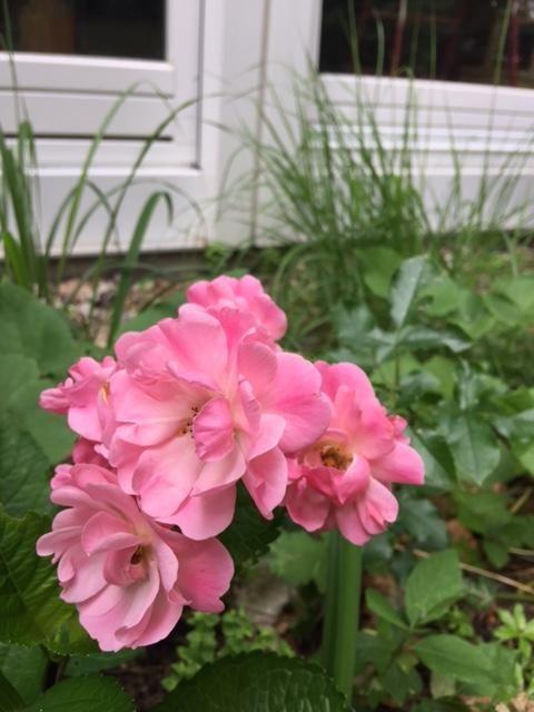 Die Sonnenplätze sind rar im Schattengarten. Und Rosen sind so bezaubernd, dass ich auch nicht auf sie verzichten möchte. Also versucht man Alles, um einige Wenige zu etablieren. Hier meine Schätzc…