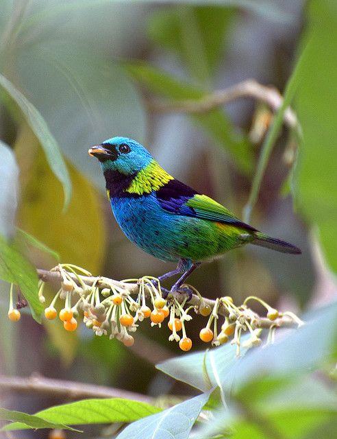 SAÍRA-SETE-CORES (Tangara seledon) by Dario Sanches #Birds