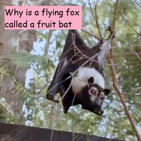 video - click link to watch - http://www.batsrule.info/2017/04/why-is-flying-fox-called-fruit-bat.html   Take a close look at the flying mammal called the flying fox, or fruit bat. Watch these furry flyers as they leave their roosts to find food. Discover how and why they climb trees. See how these animals fly like birds but are not birds. Flying fox or fruit bat either way they are amazing.  #infoonbats #batsrule #bats #megabat #flyingfox #flyingfoxes #fruitbat #wildlife #batsofaustralia