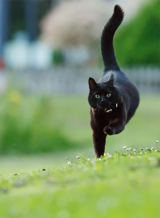 """""""if a black cat crosses your path, it's a sign that the animal is going somewhere."""" --Groucho Marx. Thank you! They are not unlucky and deserve love too."""