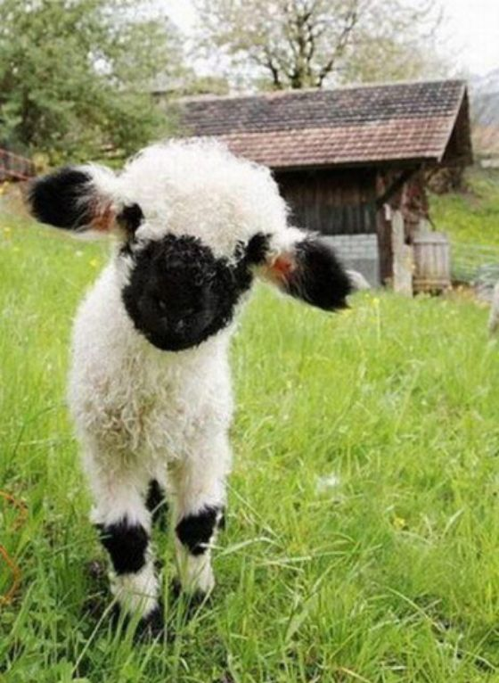 Early spring baby lamb farm animals!