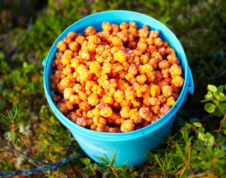 Cloudberry fever an another Lappish treasures.