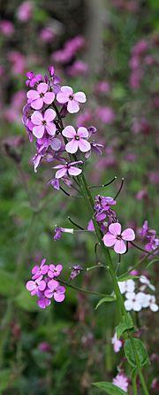 Natviol / Aftenstjerne lyser flot op i haven, og insekterne er glade for den – og så kan man oven i købet pynte salaten med de små blomster.    Undertiden kan man forlænge blomstringen ved at fjerne blomsterne, lige inden de helt er afblomstrede, og man får så en ny blomstring, som kan holde til august.
