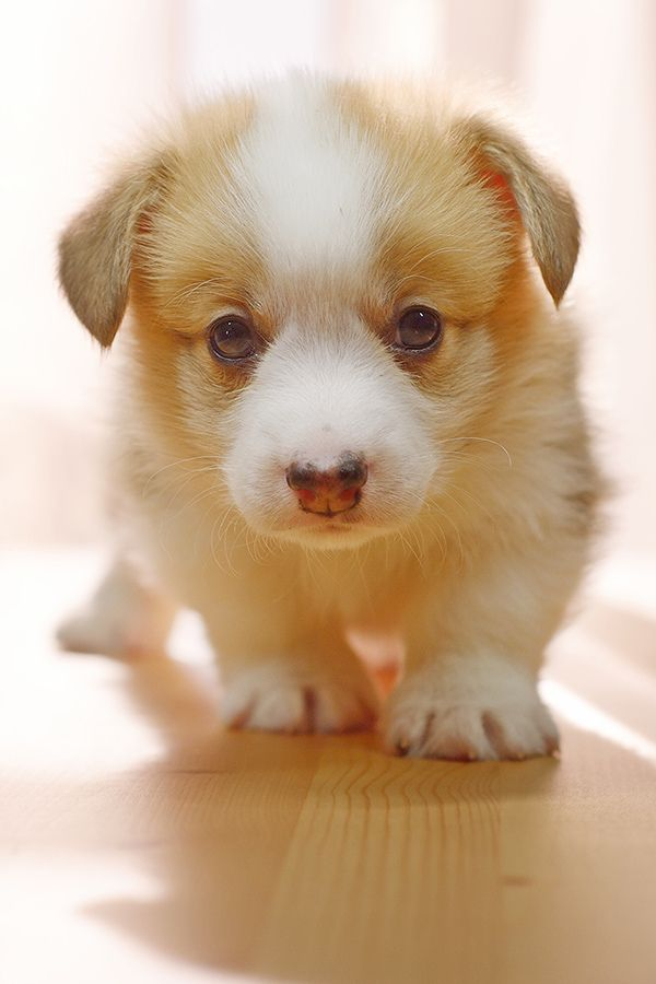 12 Pictures with wonderful animals, including: cute Corgi puppy, beautiful red p…  – Cutest dogs