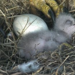 DC Eagle Cam • LIVE Bald Eagle Nest Cam, photo 5