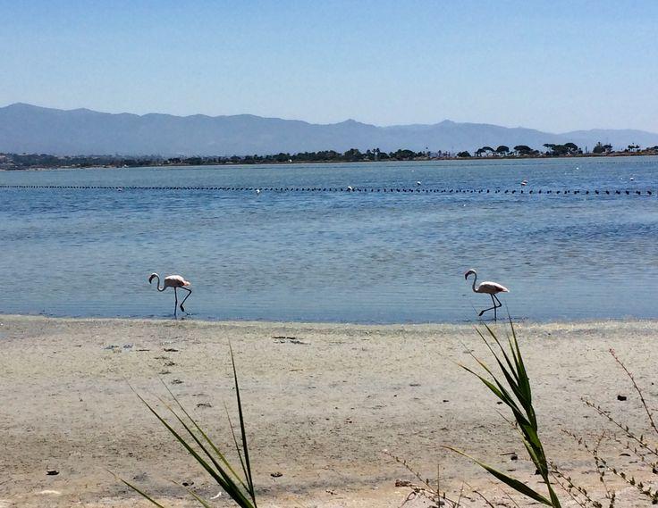Flamingo's in strandmeren rondom Cagliari, Sardinie