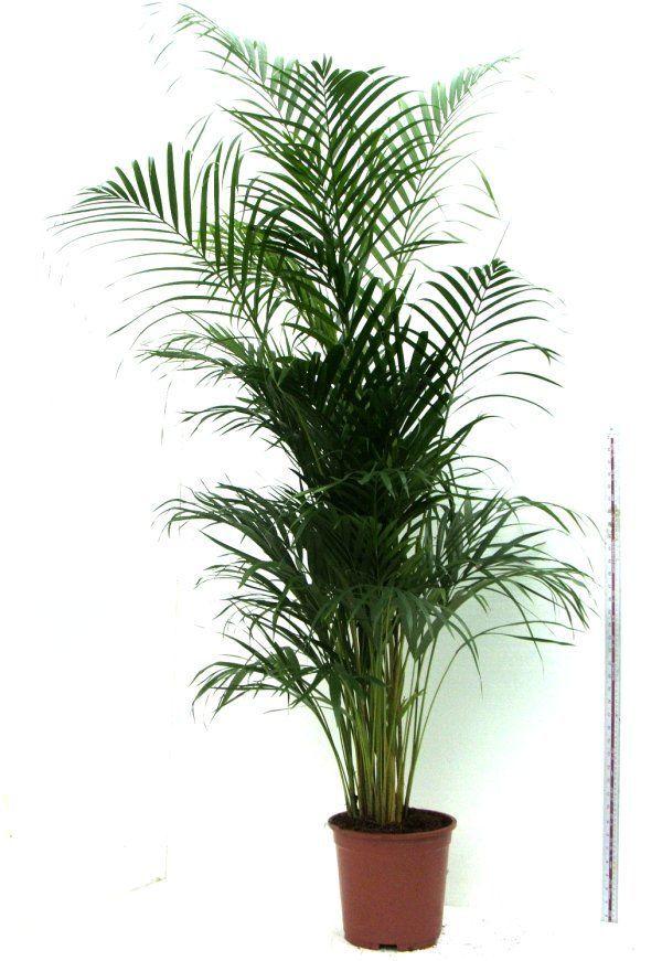 Арека имеет пучок красивых листьев и в помещении вырастает до 2 м
