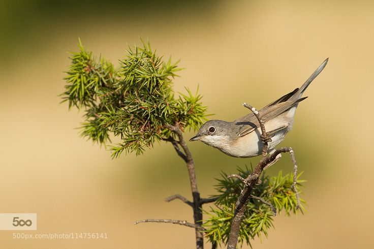 Garden Warbler by fotovulture. Please Like http://fb.me/go4photos and Follow @go4fotos Thank You. :-)