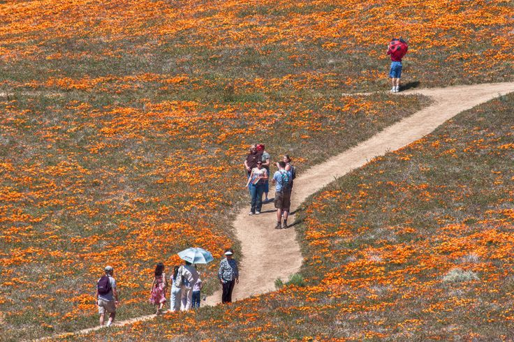 Antelope Valley Poppy Flower reserve