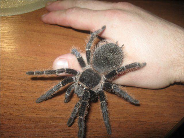 А ритмологически? Это паук-птицеед. Не смотря на свои размеры, он совершенно безопасен для человека. Поэтому некоторые люди держат этих пауков в домашних террариумах, играют с этими своими питомцам…